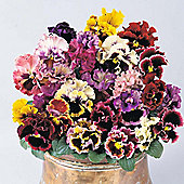 Pansy 'Can-Can Mixed' F1 Hybrid - 1 packet (20 seeds)