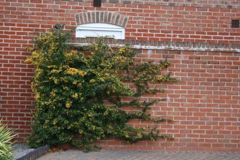 Firethorn (syn. Saphyr Yellow) (Pyracantha Saphyr Jaune ('Cadaune') (PBR))