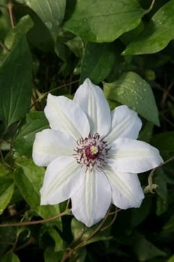 clematis (group 2) (Clematis 'Miss Bateman')