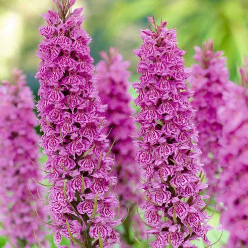 Marsh Orchid - 2 bareroot plants