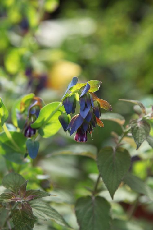 honeywort (Cerinthe major 'Purpurascens')
