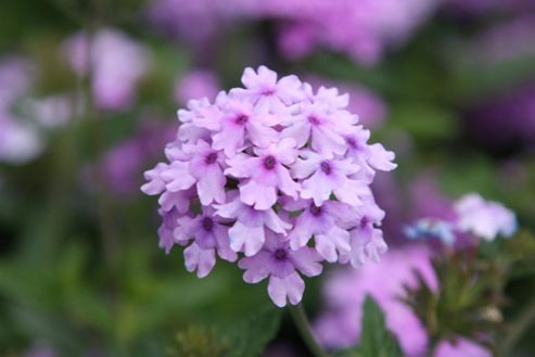 verbena (Verbena 'Seabrooks Lavender')