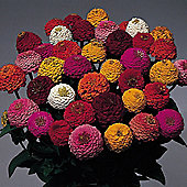 Zinnia elegans 'Lilliput Mix' - 1 packet (200 seeds)