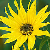 Sunflower maximiliani - 1 packet (100 seeds)