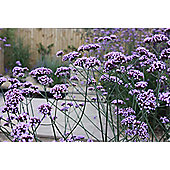 purple top (Verbena bonariensis)