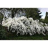 pearl bush (Exochorda ? macrantha 'The Bride')