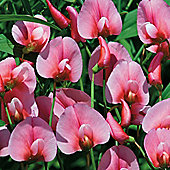 Lathyrus tingitanus 'Rosea' - 1 packet (30 seeds)