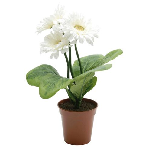 28cm Gerbera Potted Plant With 3 White Flowers