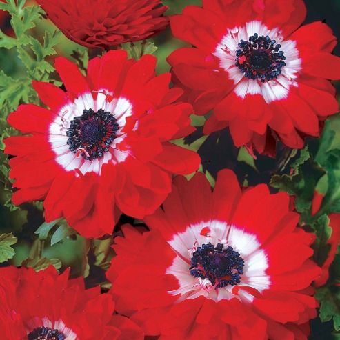 Anemone coronaria 'The Governor' - 50 corms