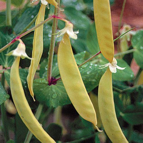 Pea 'Golden Sweet' (Mangetout) - 1 packet (100 pea seeds)