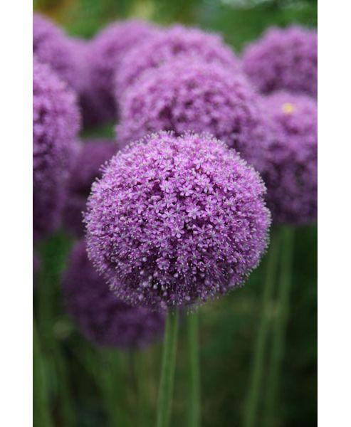ornamental onion bulbs (Allium giganteum)