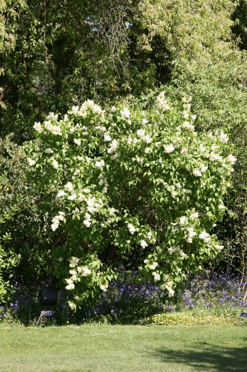common Lilac (Syringa vulgaris 'Madame Lemoine')