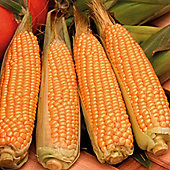 Sweetcorn 'Rising Sun' F1 Hybrid (Supersweet) - 1 packet (30 sweetcorn seeds)