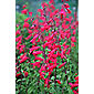 beard tongue (syn. Garnet) (Penstemon 'Andenken an Friedrich Hahn')