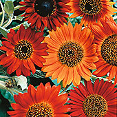 Sunflower 'Earth Walker' - 1 packet (30 seeds)