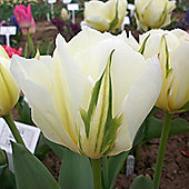 20 x Tulip 'Exotic Emperor' Bulbs - Perennial Spring Flowers