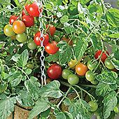 Tomato 'Terenzo' F1 Hybrid - 1 packet (6 tomato seeds)