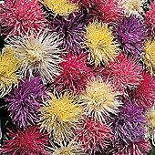 Aster 'Spider Chrysanthemum Mixed' - 1 packet (200 seeds)