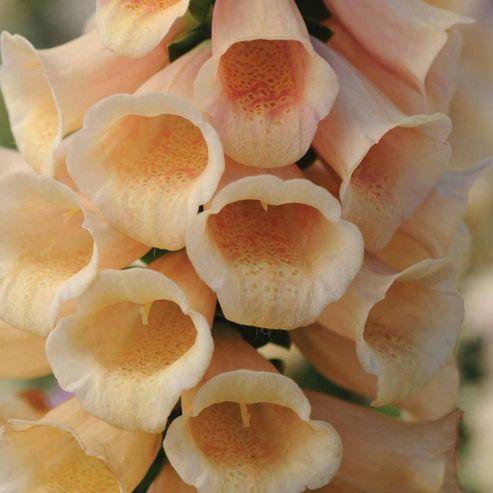 Foxglove 'Dalmatian Peach' F1 Hybrid - 1 packet (12 seeds)