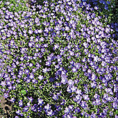 Legousia pentagonia 'Looking Glass' - 1 packet (400 seeds)