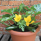Courgette 'Patio Star' F1 Hybrid - Part of the Alan Titchmarsh Collection - 1 packet (6 courgette seeds)