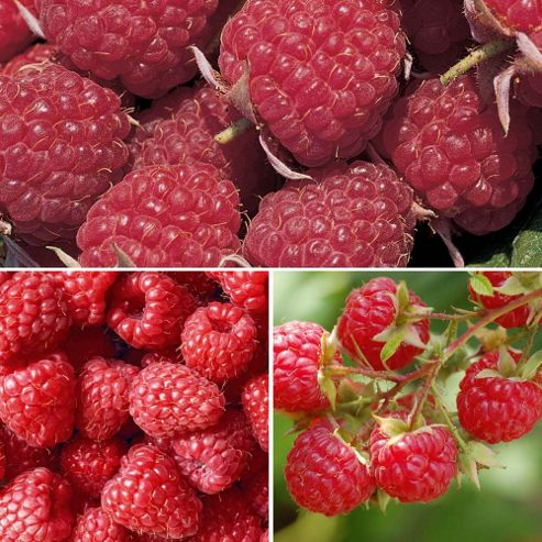 Raspberry 'Full Season Collection' - 9 canes - 3 of each variety