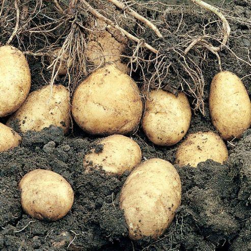 Potato 'Arran Pilot' - 10 tubers