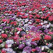 Aster 'Starlight Mixed' - 1 packet (150 seeds)
