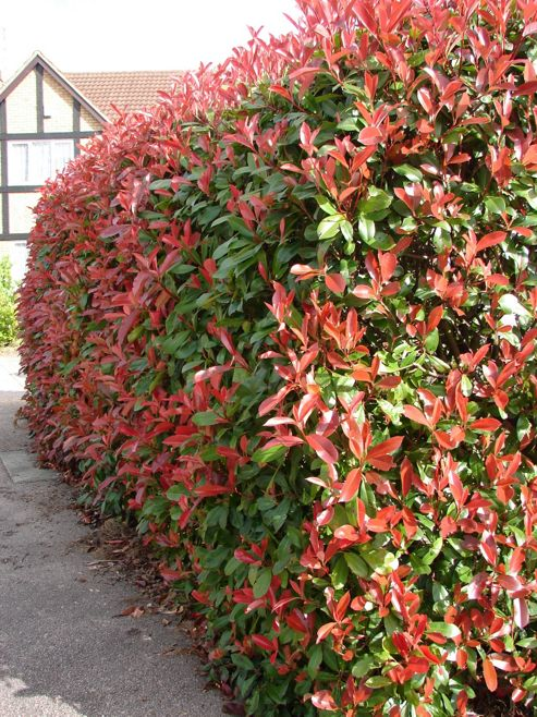 photinia (Photinia ? fraseri 'Red Robin')