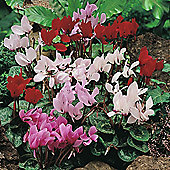 Cyclamen persicum grandiflorum 'Scentsation Mixed' - 1 packet (10 seeds)