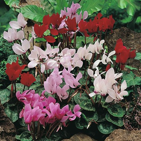 Cyclamen persicum grandiflorum 'Scentsation Mixed' - 1 packet (10 seeds)