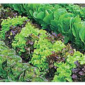 mixed lettuce (lettuce 'Mixed')