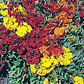 Wallflower 'Brilliant Bedder Series Mixed' - 1 packet (685 seeds)