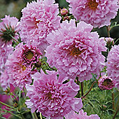 Cosmos bipinnatus 'Double Click Rose Bonbon' - 1 packet (40 seeds)