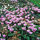Cyclamen 'All-the-year-round Flowering Mixed' - 1 packet (16 seeds)