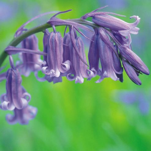 English Bluebells - 50 bulbs