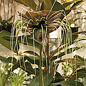 Tacca chantrieri 'Green Isle' - 1 packet (15 seeds)