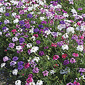 Verbena tenuisecta 'Desert Jewels Mixed' - 1 packet (35 seeds)