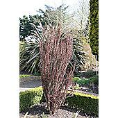barberry (Berberis thunbergii f. atropurpurea 'Helmond Pillar')