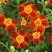 Marigold 'Paprika' - 1 packet (300 seeds)