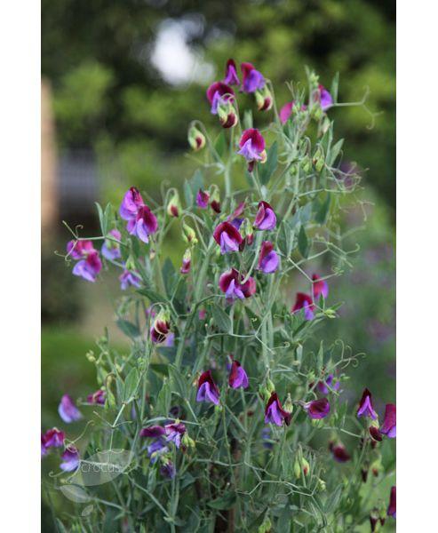 spencer sweet pea seed Matucana (Lathyrus odoratus 'Matucana')