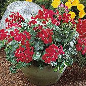 Geranium 'Summer Showers Burgundy' - 1 packet (6 seeds)
