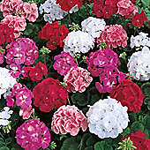 Geranium 'Maverick Mixed' F1 Hybrid - 1 packet (6 seeds)