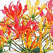 Glory Lily (Mixed) - 1 packet (6 seeds)
