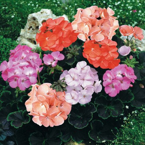 Geranium 'Black Velvet Mix' F1 - 24 plugs