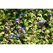 Chinese plumbago (Ceratostigma willmottianum Forest Blue ('Lice') (PBR))