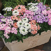 Verbena x hybrida 'Tuscany Pastel Mixed' - 1 packet (25 seeds)