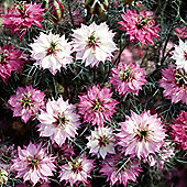 Nigella damascena 'Mulberry Rose' - 1 packet (600 seeds)