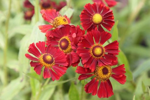 sneezeweed (Helenium 'Ruby Tuesday')
