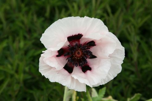 poppy (Papaver orientale 'Perry's White')
